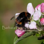 AB Apple Blossom Bee
