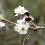 BB wild plum blossom bee