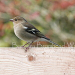 CHF chaffinch female