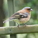 CHM chaffinch male
